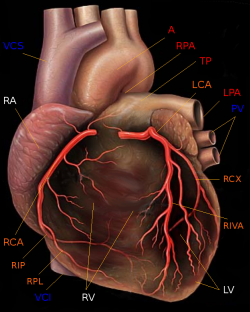 """Human heart with coronary arteries new"" von Patrick J. Lynch (1999), modified by Christian 2003 - Yale University - School of medicine. Lizenziert unter Creative Commons Attribution 2.5 über Wikimedia Commons - http://commons.wikimedia.org/wiki/File:Human_heart_with_coronary_arteries_new.png#mediaviewer/Datei:Human_heart_with_coronary_arteries_new.png"